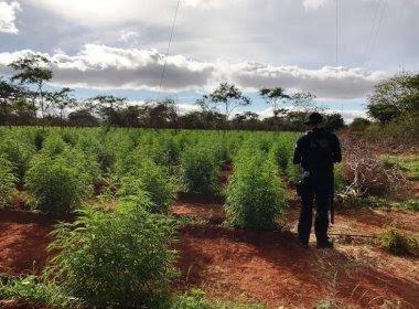 Cafarnaum: Polícia encontra roça de maconha avaliada em R$ 5 milhões
