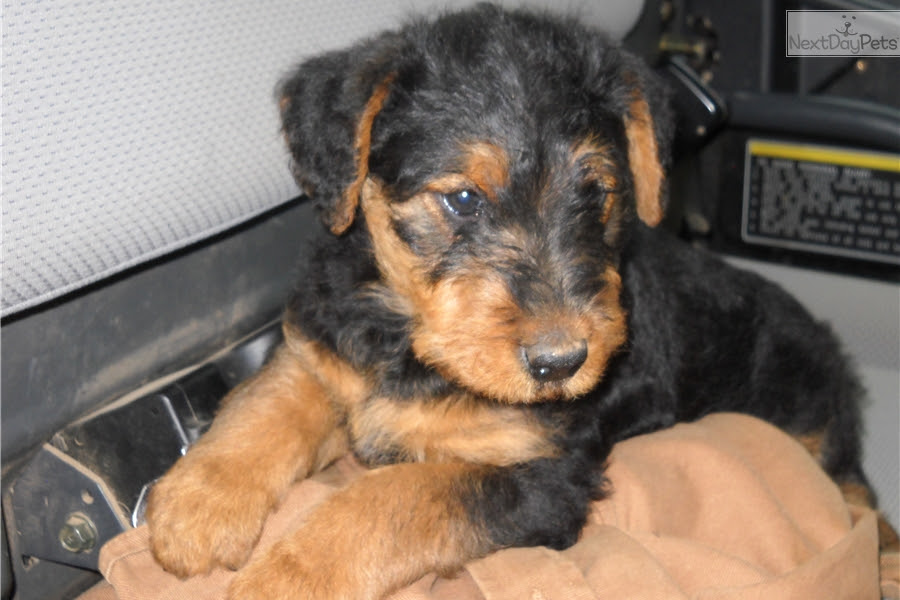 Airedale Terrier puppy for sale near Tulsa, Oklahoma  c983a20fb4a1