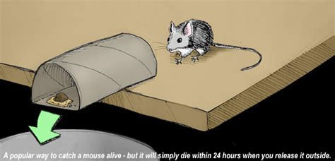 How to Catch a Mouse Alive Without Killing It In the House or Attic