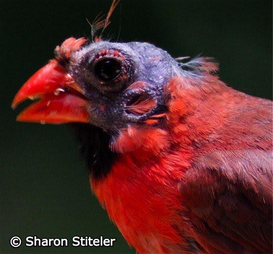 10000 Birds Yes That Bald Bird Is A Bald Cardinalprobably