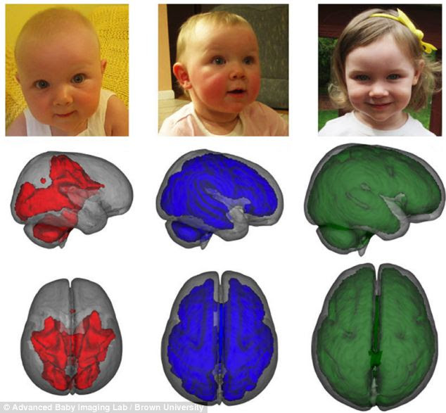 Children exclusively fed breast milk for at least three months have up to 30 per cent extra growth in the key parts of the brain. Image shows how white matter develops with age