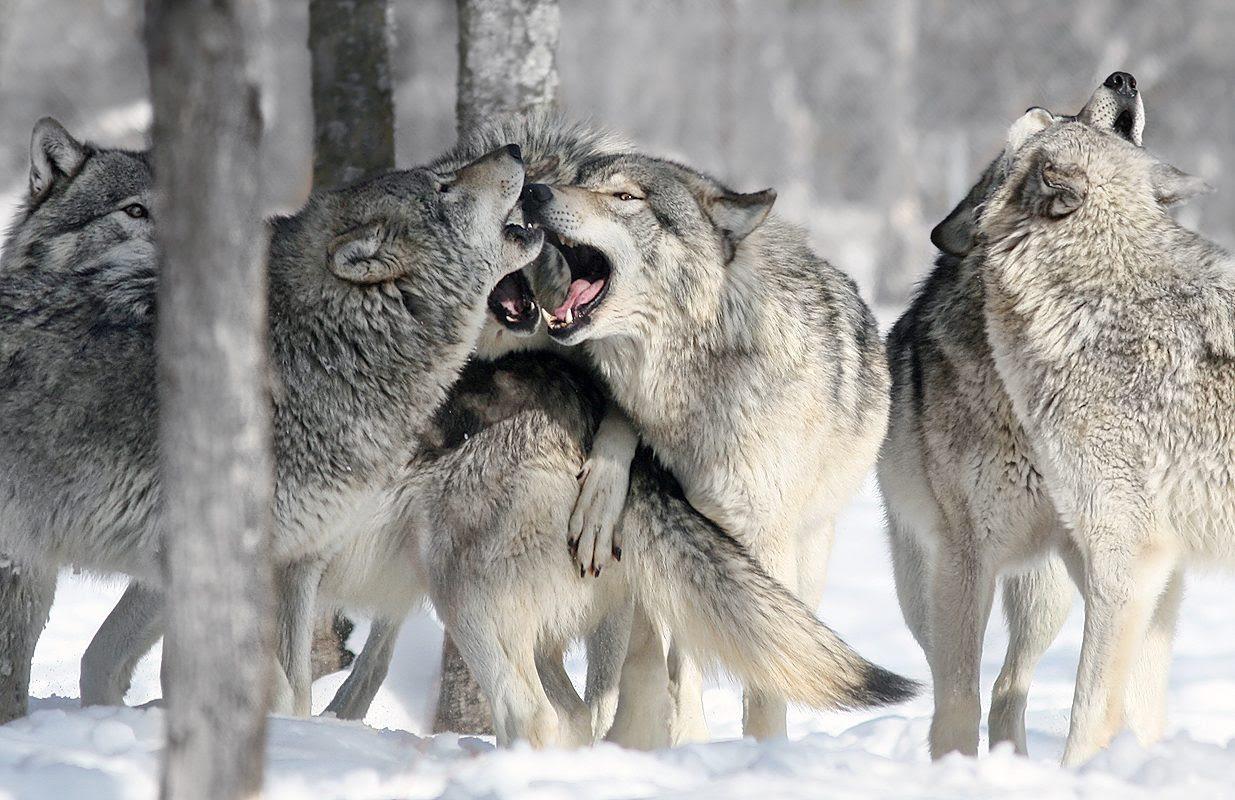 Imágenes De Una Manada De Lobos Imágenes Y Fotos