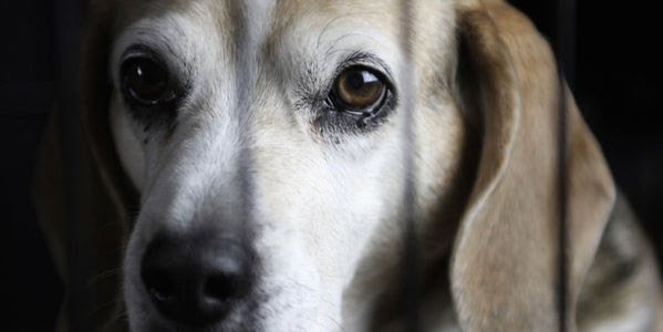 Stop the Beagle puppy animal testing breeding facility!
