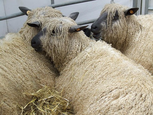 Wensleydale Sheep unshorn with their dreadlocks, just chilling out