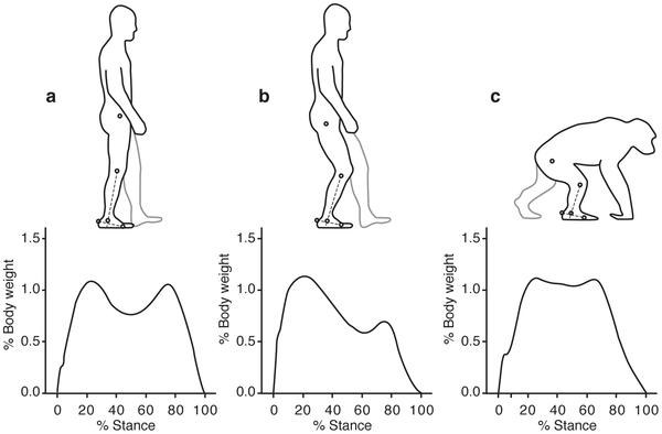 Figura 1 Las diferencias en el ángulo del tobillo (línea discontinua) en apoyo medio en el ser humano camina normalmente (a), con un paso doblado la rodilla doblada-cadera (b) y los chimpancés para caminar cuadrúpeda (c).