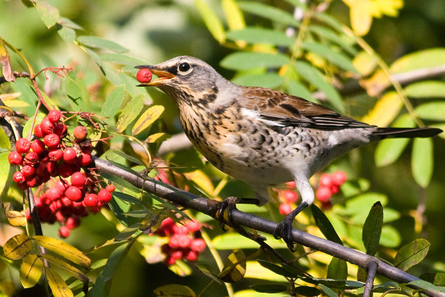 A fieldfare is getting ready for the season migration.