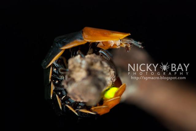 Firefly larva (Lampyridae) - DSC_5516