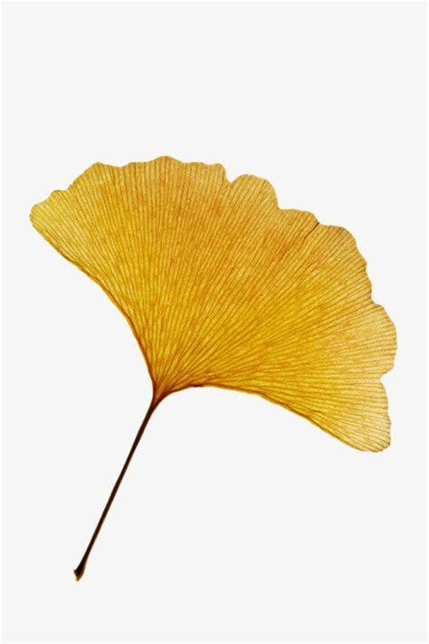 Golden Ginkgo Leaves, Golden, Ginkgo Biloba, Leaf PNG