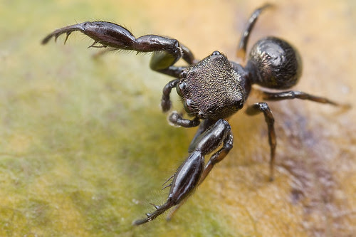 jumping spider Hercules IMG_7765 copy