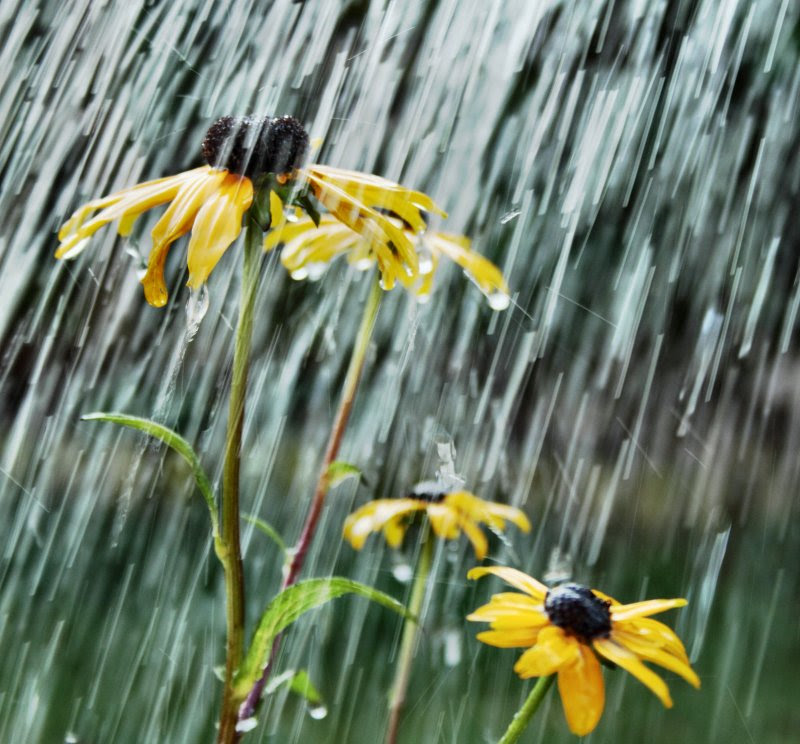 Rudbeckias in the rain