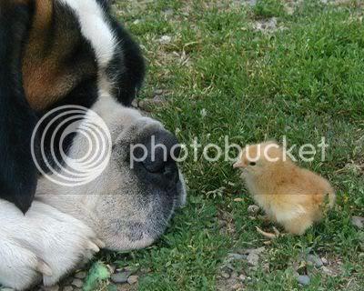 perro pollito