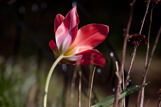 N-tulip in red