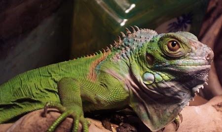 Alimentación de las Iguanas saludable