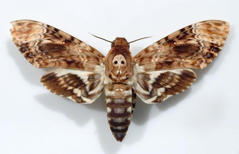 File:Acherontia lachesis.jpg
