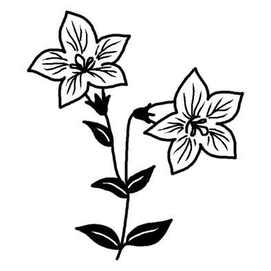 キキョウ3コスモスキキョウ桔梗秋の花無料白黒イラスト素材