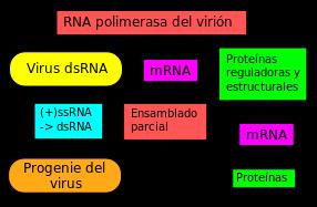 dsRNA virus replication scheme. Spanish