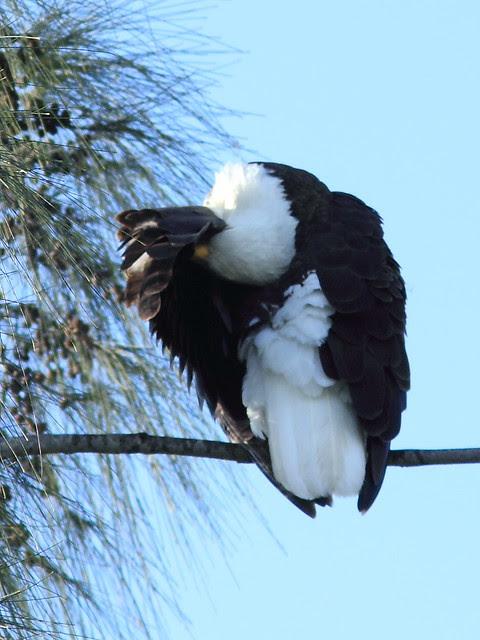 Bald Eagle preening 20121207