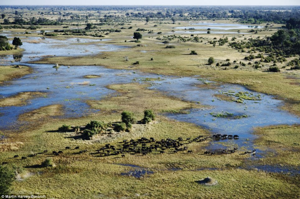 Lush: The greenness of the surroundings in this photograph of buffalo in the Okavango Delta contrasts with the arid scenes over the Namib Desert