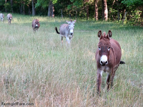 Donkeys heading in for happy hour - FarmgirlFare.com