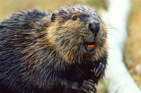 Beavers may offer environmental second chance   Toronto Star