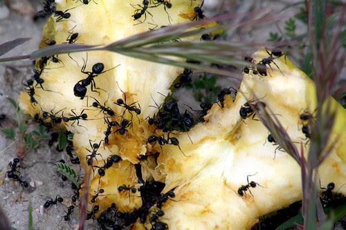 La manzana mordida y una tropa de hormigas