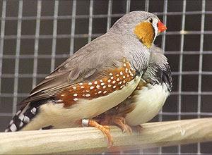 Casais de aves do mesmo sexo podem ter relação estável, aponta estudo