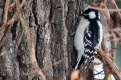 downy woodpecker 089
