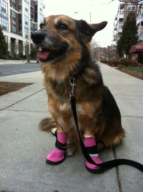 Maggie in her doggie boots!