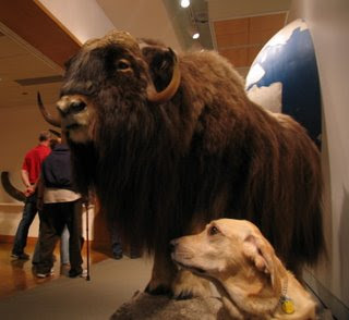 Miguel and the Musk Ox