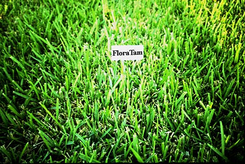 Plantanswers Plant Answers Floratam St Augustine Grass The