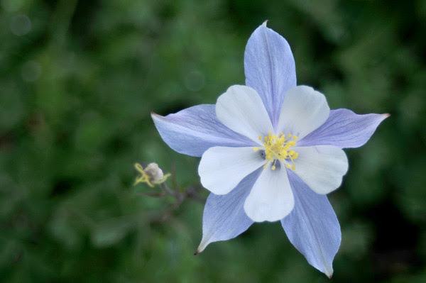 Columbine along Schofield Pass