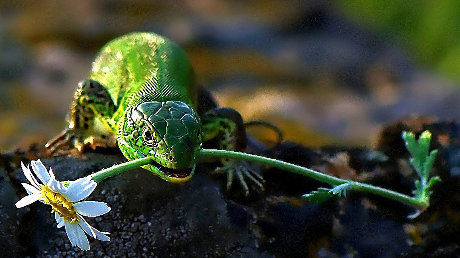 Lizard lizards Wallpaper 40750920 Fanpop