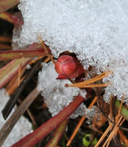 Sarracenia x catesbaei flower bud, covered by a mid-April snow