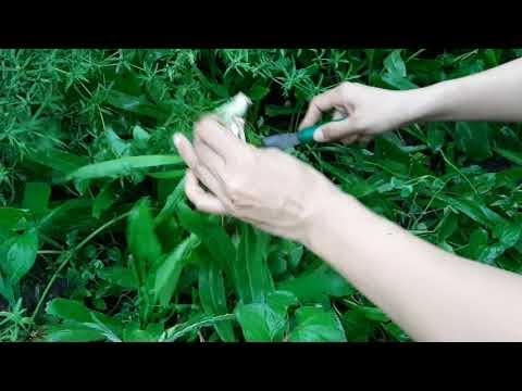 Ra vườn hái ngò gai nấu canh chua