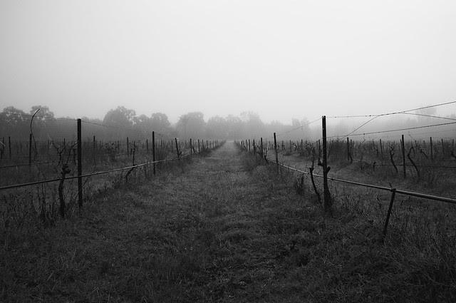 Foggy Vineyard 005