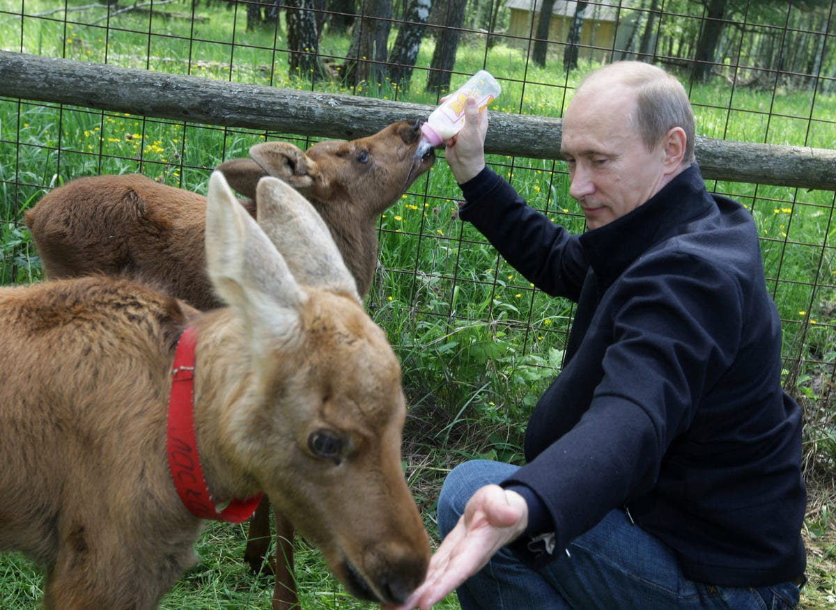 The Russian President bottle-feeds young elk at a nature reserve.