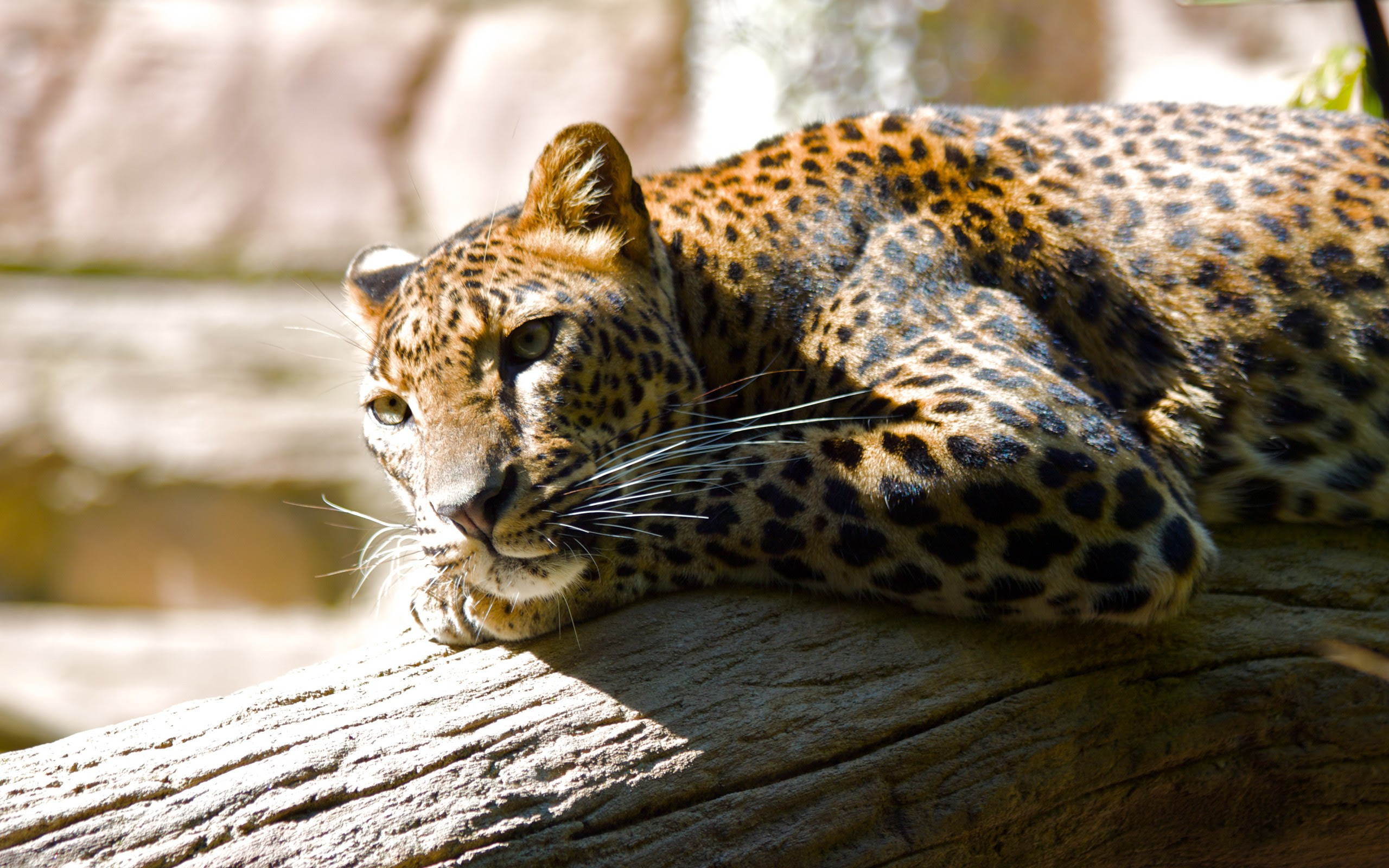 Leopard HQ Wallpapers | Wallpapers HD