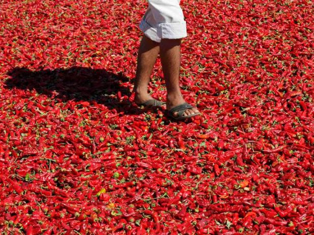 Sahin walks on hot peppers laid out on a road to dry under the sun in Kilis province