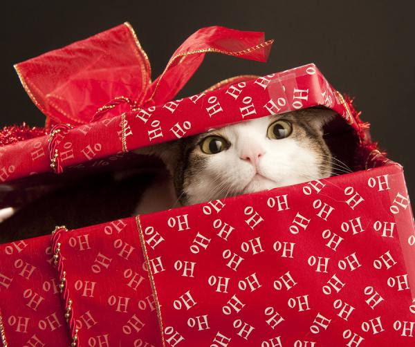 4073Bigstockphoto Christmas Cat 4494104