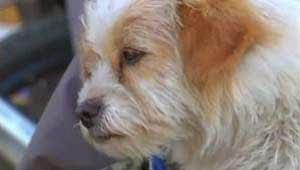 Seekor anjing jalanan yang sekarang diberi nama  Anjing Yang Menjelajah 1700km Dari China ke Tibet