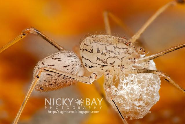 Spitting Spider (Scytodidae) - DSC_0193