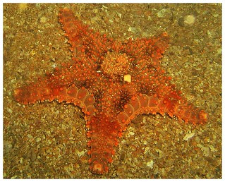 Cobbled Starfish (Calliaster baccatus)