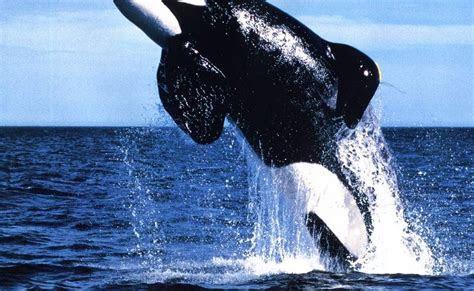 gambar ikan paus pembunuh killer whale dunia binatang