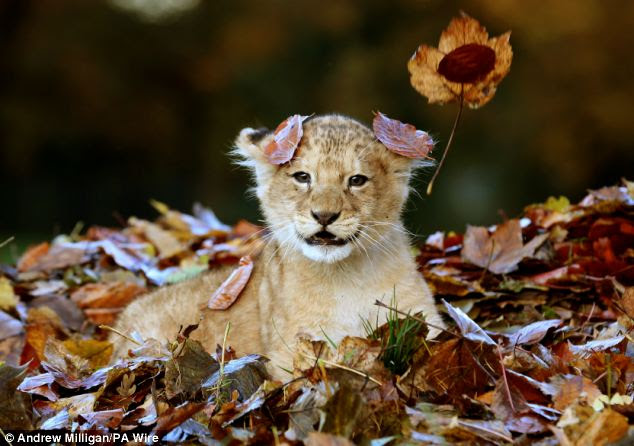 Playtime: Staff at the park had been raking up leaves, when Karis's keeper David Reid realised that his little charge might enjoy playing in them, and moved the pile into her enclosure