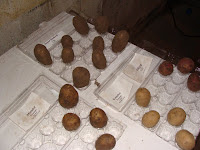 Potatoes ready for chitting