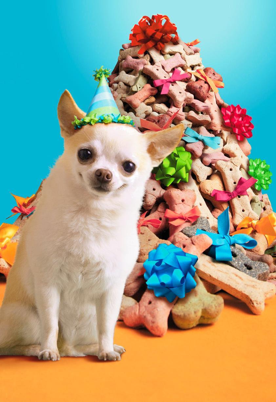 Поздравления днем, картинка с днем рождения с чихуахуа