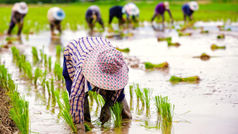 Nông dân Thái Lan trồng lúa. Ảnh minh họa.