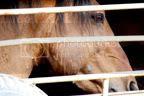 Wild horses horse slaughter,BLM round-up