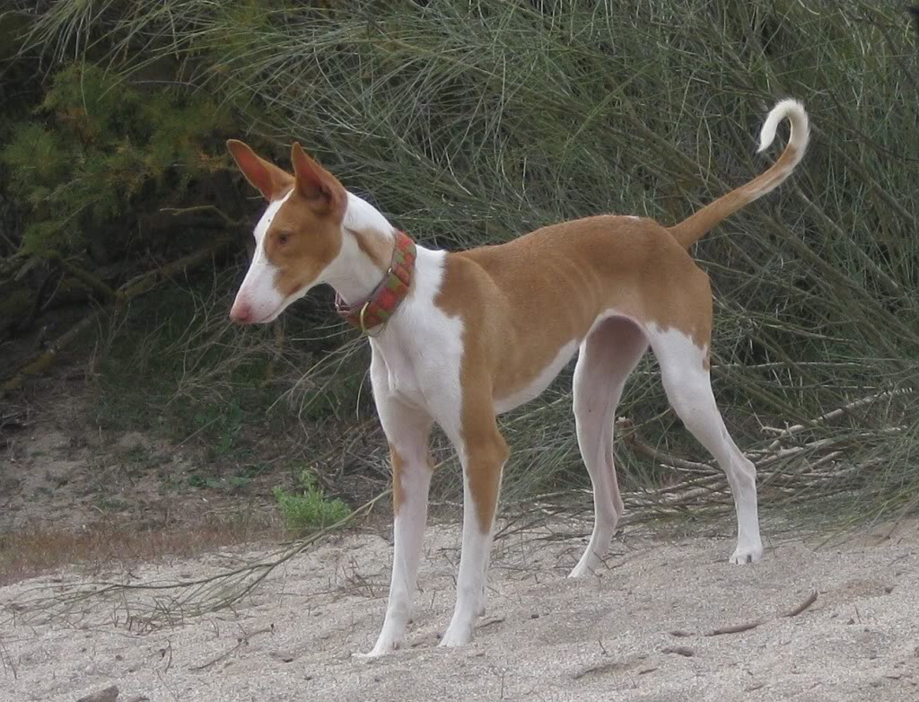 Ibizan Hound Breed Guide  Learn about the Ibizan Hound.