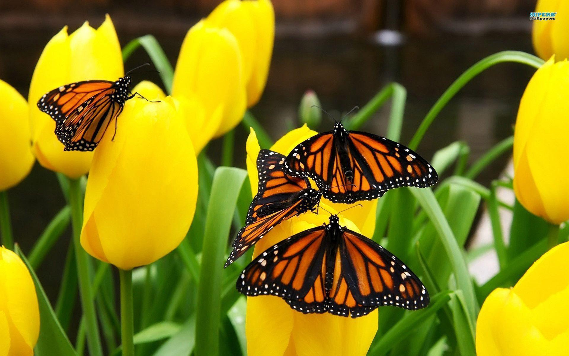 Monarch Butterfly Wallpapers - Wallpaper Cave